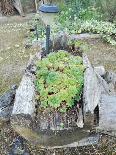 Plantas en tronco de pino seco. Naturaleza