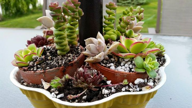 Several types of succulents planted in a bundt pan.  Patio umbrella comes up through hole made in center.  2015