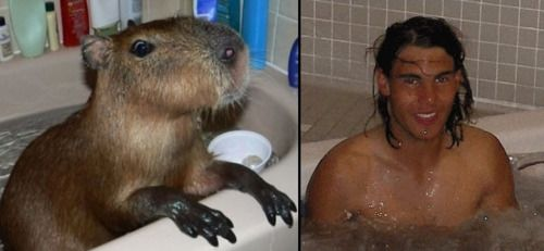 bathing capybara