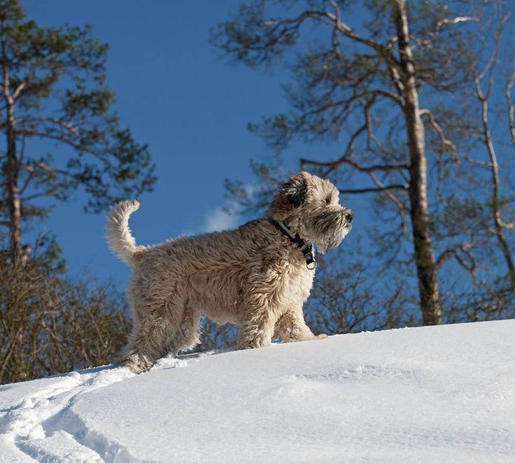 En soft coated wheaten terrier passar dig som är aktiv och vill ha en sällskaplig hund. Här får du 8 bra saker att veta om rasen.