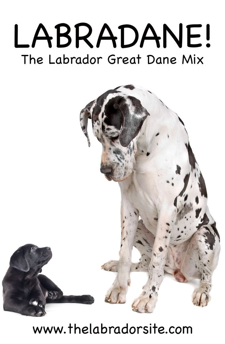 Great Dane Lab Mix Breed Information Center Discover The