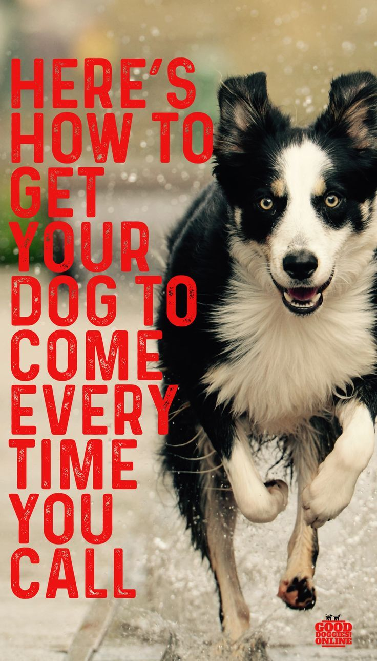 How To Train Your Dog To Come Every Time Good Doggies Online Dog Training Training Your Dog Dog Recall