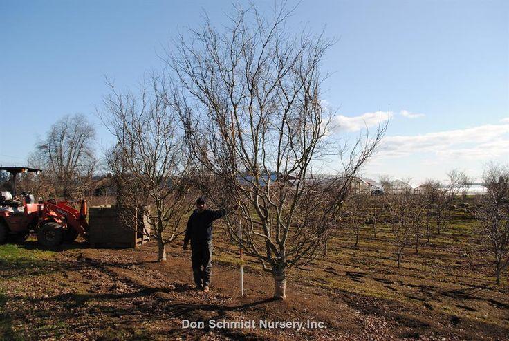 Acer palmatum Bloodgood   Wholesale Nursery Supplies & Plant growers in Oregon   Nursery Guide