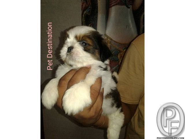 Shih Tzu Is A Pact And Solid Dog Call 9196999 99338 In