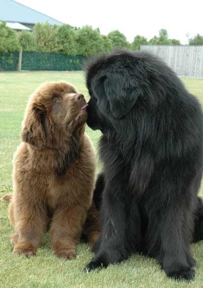 Newfoundland puppy 'Enzo' & Newfoundland dog 'Henry' - awww! :-) <3