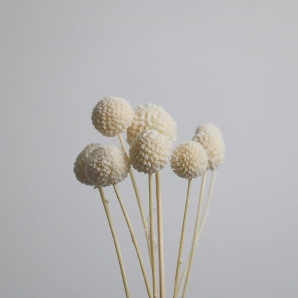Bleached White Dried Craspedia Craspedia Billy Buttons Flower Decorations