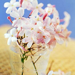 17 favorite fragrant blossoms   Polyanthus jasmine   Sunset.com