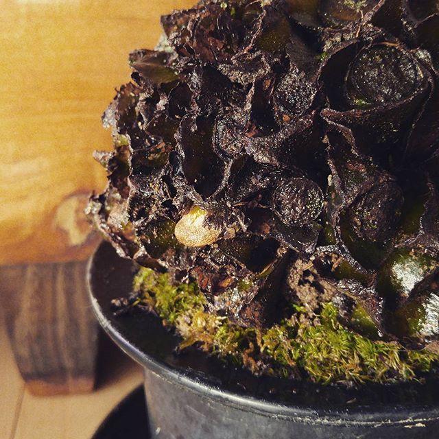 【marolien2】さんのInstagramをピンしています。 《おはようございます😊 口説き続けていたリュウビンタイちゃんがようやく心(芽)を開いてくれました😳💘2ヵ月かかりました😄温室のおかげ💡#plants#green#platycerium#moss#mossgarden#lovegreen#indoorgarden#indoorplants#terrarium#苔#苔テラリウム#コケテラリウム#テラリウム#植物のある暮らし#観葉植物#interior#インテリア#リュウビンタイ#ゼンマイ#発芽#新芽》