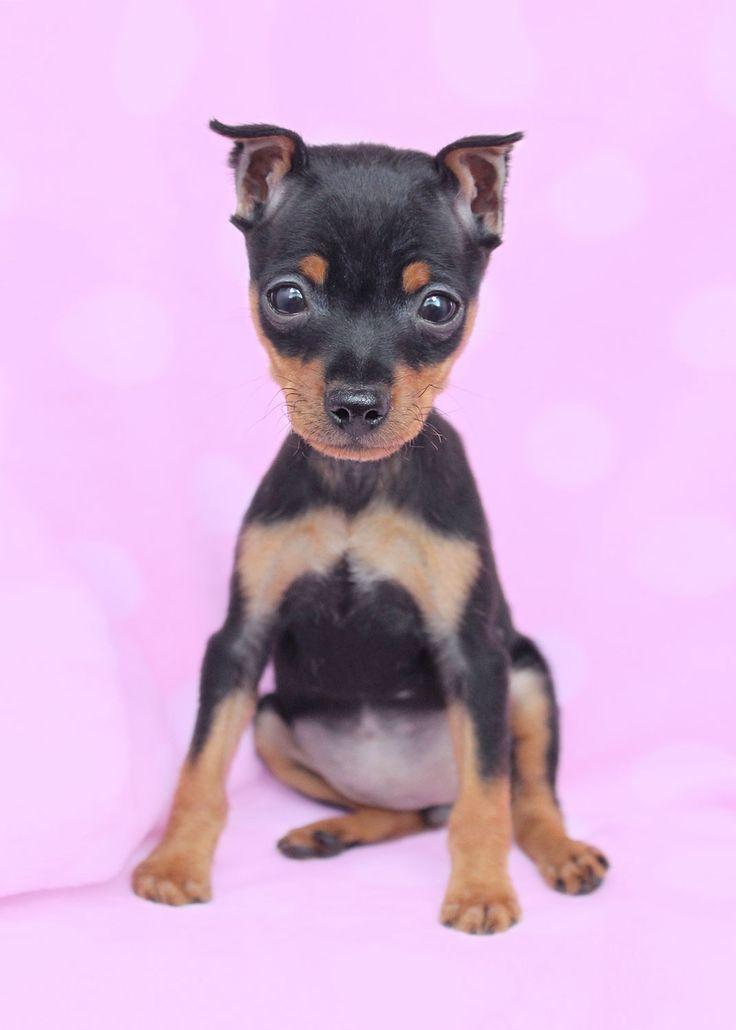 Miniature Pinscher Teacup Size | Miniature Pinscher (Min Pin) Puppies For Sale | Teacups, Puppies ...