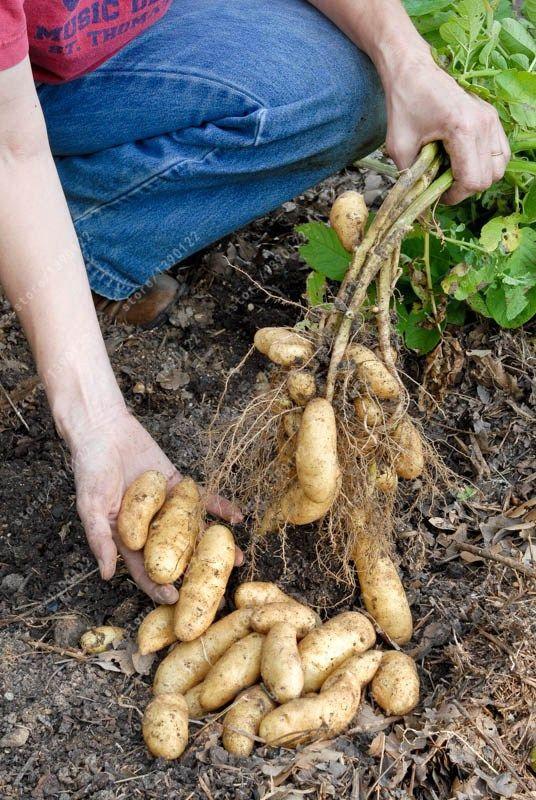 ロシアバナナ幼魚ポテト種子有機種子野菜フルーツ甘い健康キッチン調理食品ガーデン植物100ピース/バッグ