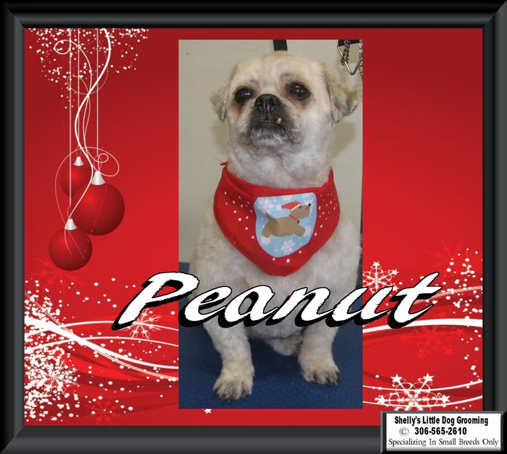 🎅This Little guy - Peanut! He's all cleaned up for the holidays.🎄