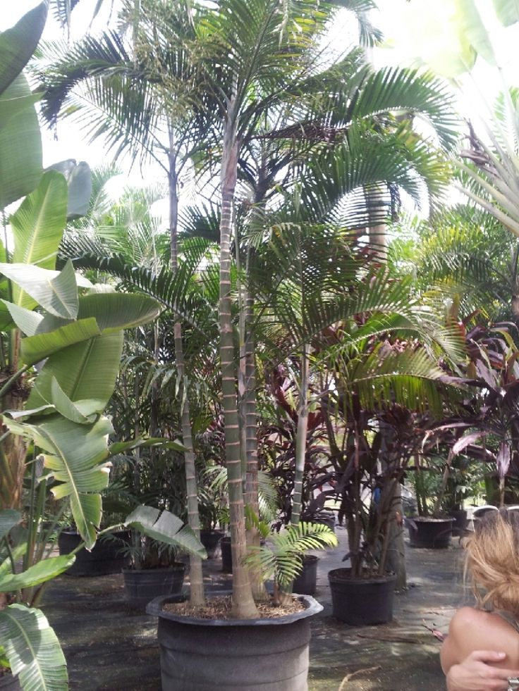 Florida Whole Plant Nursery Homestead Cabada Palm Rare Trees