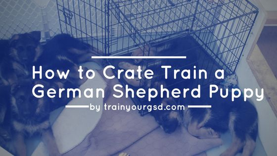 Do you want to learn How to Crate Train a German Shepherd Puppy? In this article you will learn our complete methods to crate train your puppy in 7 days.