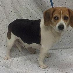Waldorf, Maryland - Beagle. Meet Sally Hughes, a for adoption. https://www.adoptapet.com/pet/20458584-waldorf-maryland-beagle-mix