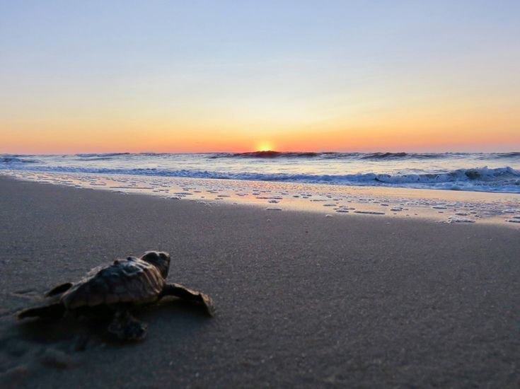 This was Maryland\u0027s first confirmed loggerhead sea turtle hatching, and a first for the Assateague Island National Seashore.