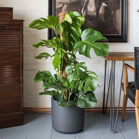 It's Monstera Monday! Today we're introducing the Monstera Deliciosa cheese plant or as we like to call it, 'Chaz'. Chaz is very easy to maintain and his unique foliage makes him one of our favourites. Just be careful not to leave him in direct sunlight if you don't want his lush green foliage to turn yellow!