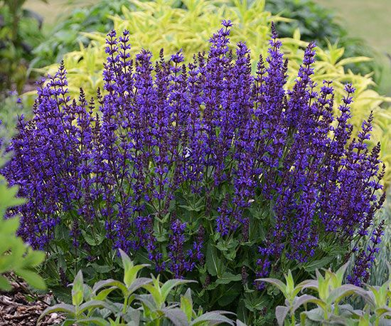 47 best perennials images on pinterest flowers garden plants and new perennials for 2015 flowers perennialscoreopsis flowerpurple mightylinksfo
