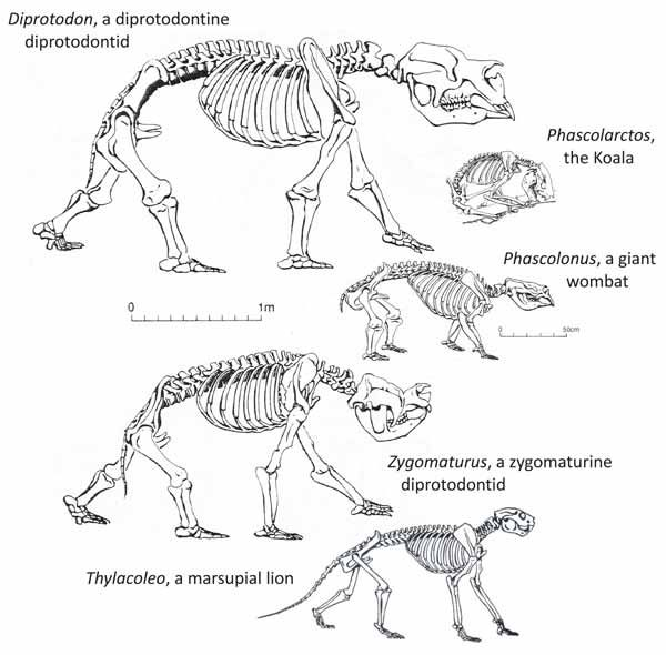 Koala anatomy animal anatomy pinterest anatomy and - Koala components ...