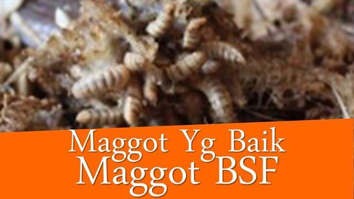 Black Soldier Fly Serangga Terkenal Baik  Yurie BSF  0812 2105 2808  www.YurieBSF.com  Youtube http://bit.ly/2rWhikj
