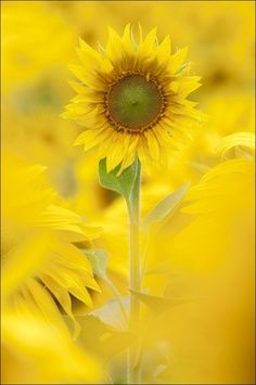 Sunflowers Happy Flower Flowers and Cabbage Roses Gardens Gardening Yellow
