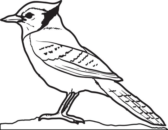 Blue Jay Coloring Page | Blue jay bird, Bird coloring ...
