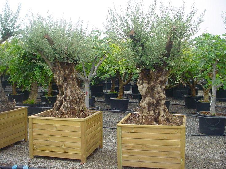 Olea europaea / Olivenbaum / Echter Ölbaum – Inbegriff der mediterranen Gehölze, wird 10-20m hoch, Frucht sind die bekannten Oliven, essbar und weit in der mediterranen Küche verbreitet