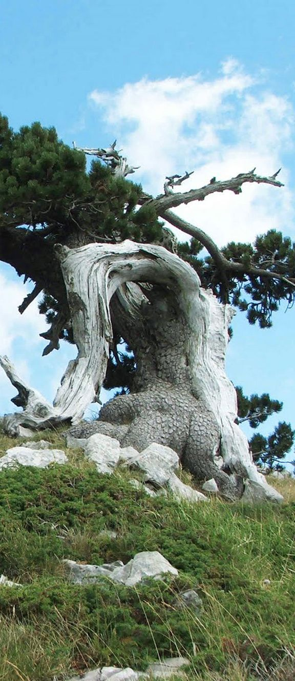 BASILICATA: Parco Nazionale del Pollino. - Pino Loricato  - This tree is like a monument as there are only few surviving in the Pollino National Park in Basilicata - Italy