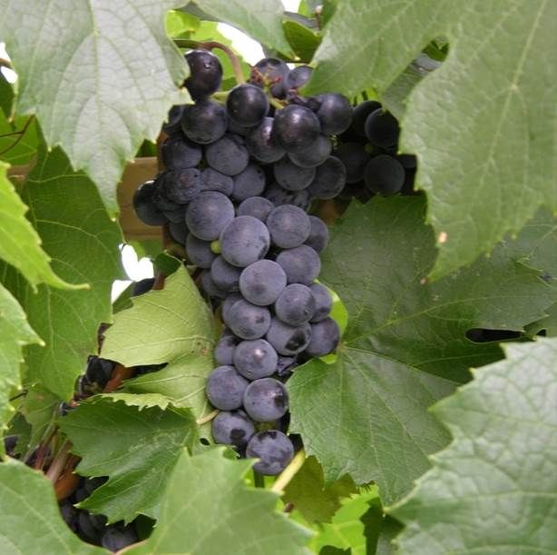 Concord grape (Vitus 'Concord')
