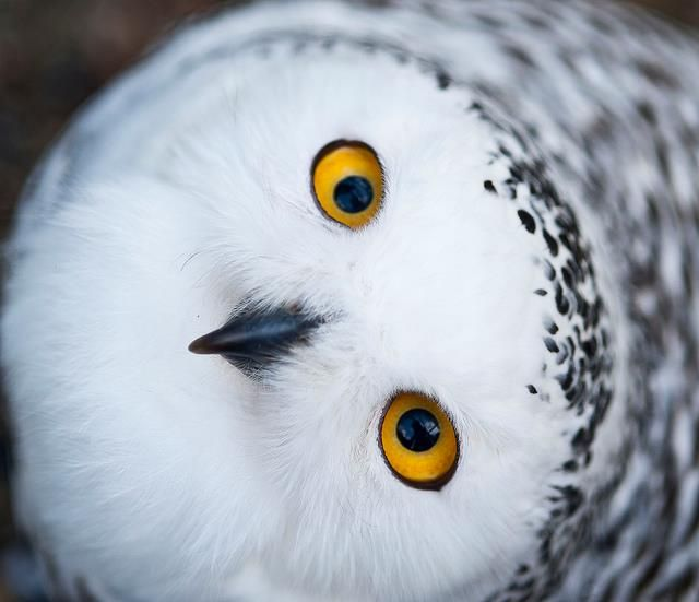 whoooo: 2048 Ipod, Backgrounds, Birds, White Owl, Snowy Owl, Snowyowl, Eye, Animal, Owl 2048