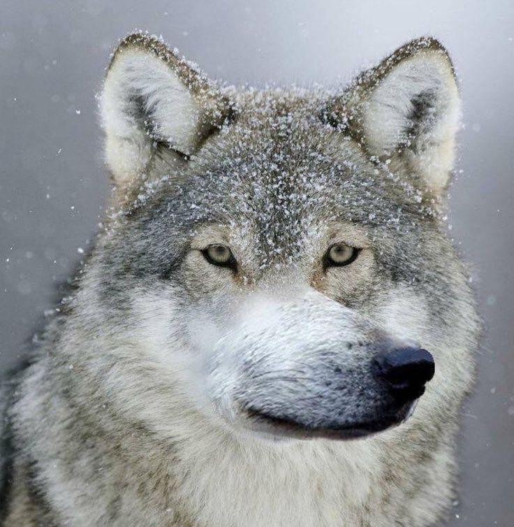 Волки смешные картинки