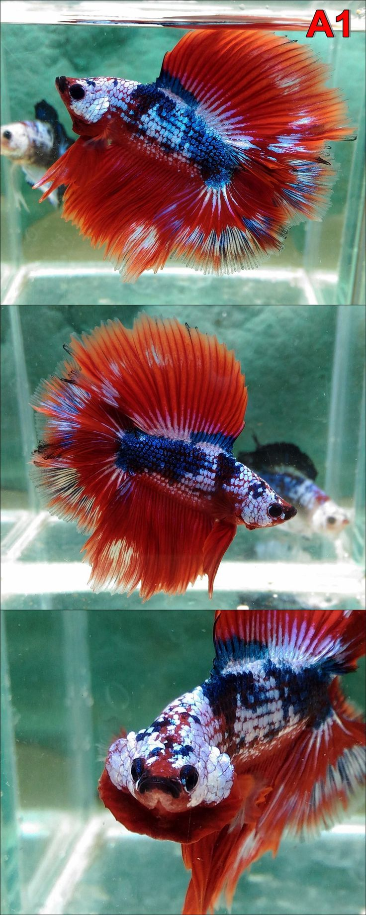 502 best Beautiful Bettas! ❤ images on Pinterest | Fish aquariums ...