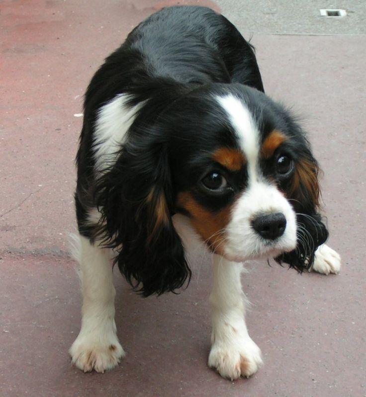 le cavalier King charle est un chien très pot de colle et aussi très mignon surtout en blanc marron et noir.(comme mon chien)
