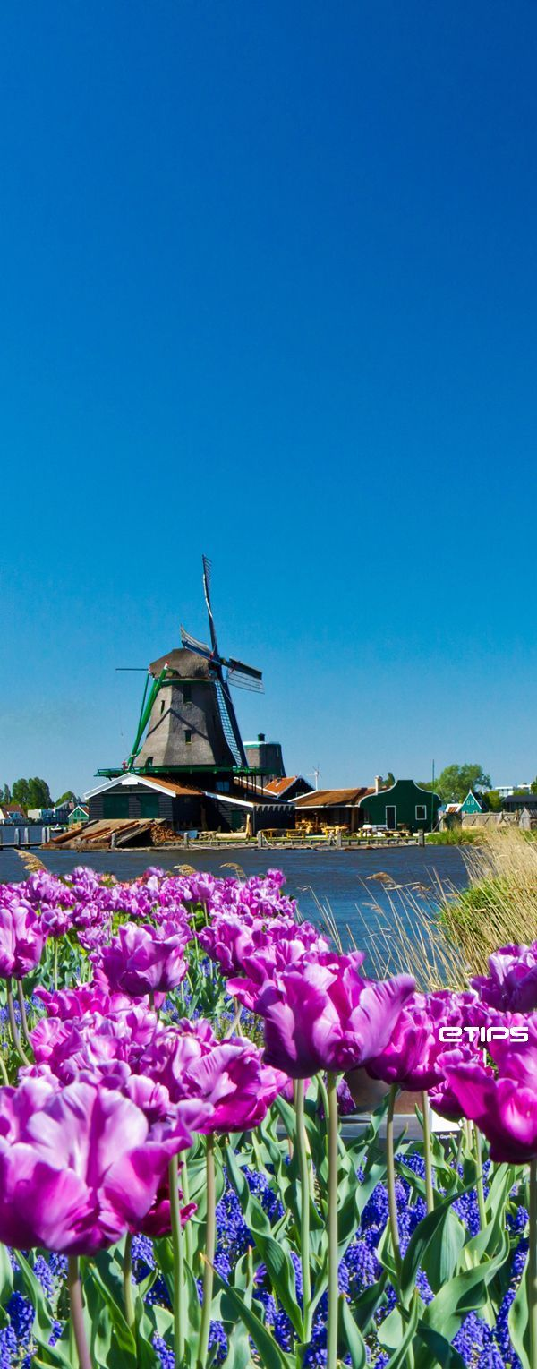 Amsterdam colorful field with winds. Wind power in the Netherlands has recently been used as a renewable energy source