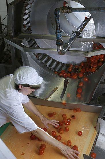La selezione a mano dei nostri pomodori!