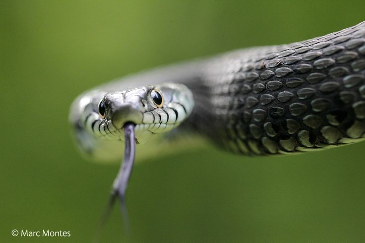 culebra de collar -- © Marc Montes / Wildlife Photographer of the Year 2014