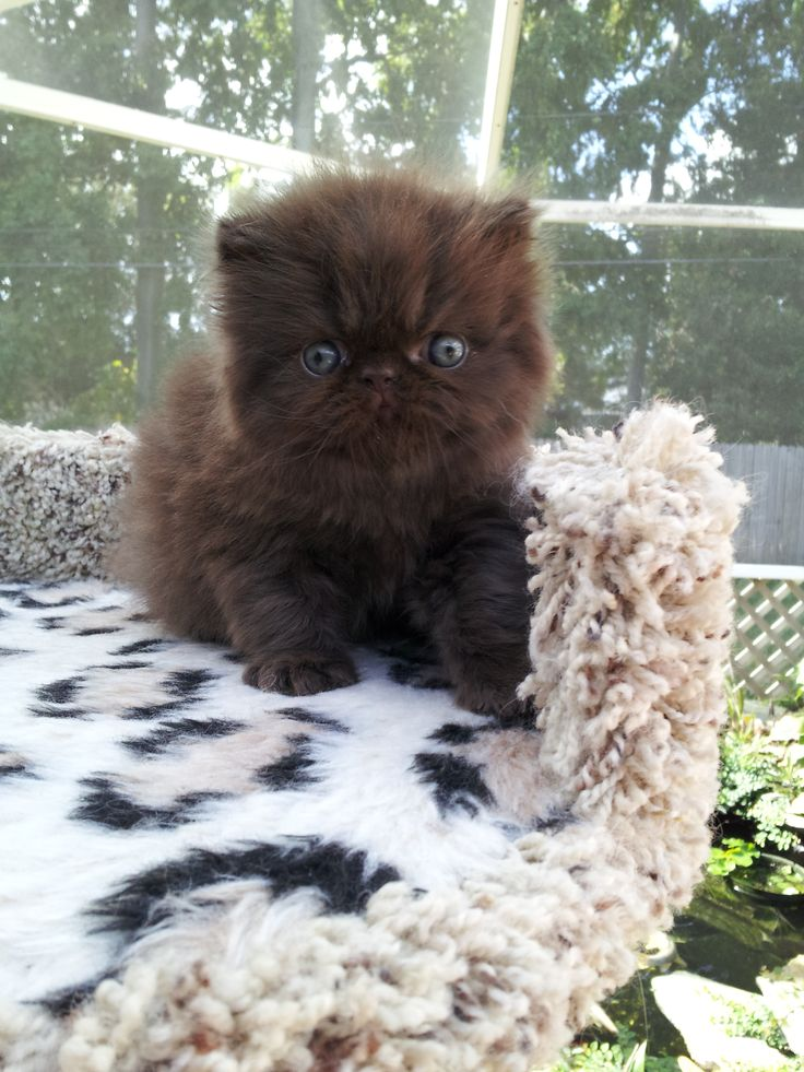 Chocolate and White Persian Kittens