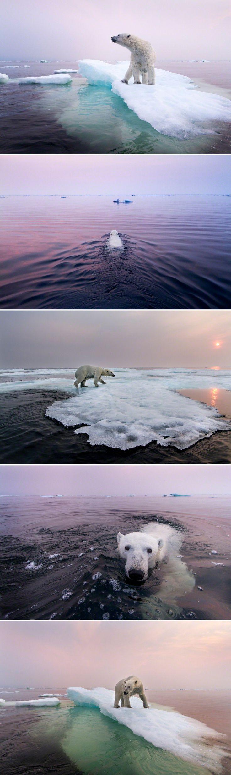 Polar bear, Manitoba.                                                                                                                                                      More