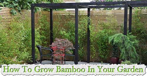 At living green and frugally we aim to provide you with lots of great tips and advice on How To Grow Bamboo In Your Garden