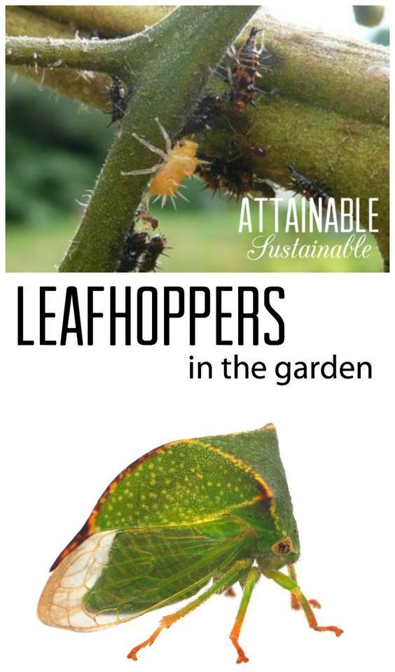 Organic pest control for leafhoppers and treehoppers in the vegetable garden.