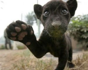 I present a baby panther!