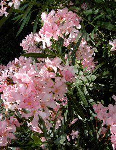 Oleander Plant Is A Beautiful, Flowering Shrub Thatu0027s Easy To Grow. Get  Oleander Care, Pruning, Overwintering Oleander Bush, Tips And More.