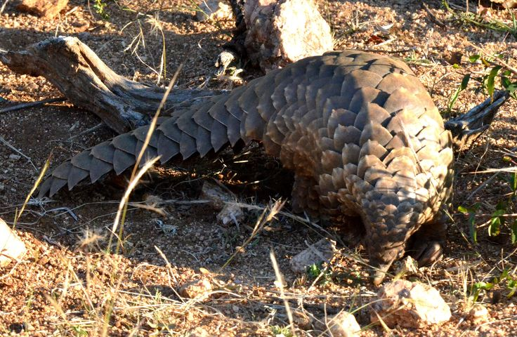 Pangolin seen in Kruger! | by sroy_sroy