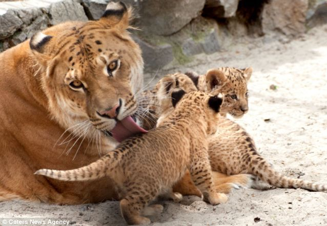 What do you get when you cross a lion with a tiger? A ... | 638 x 441 jpeg 54kB