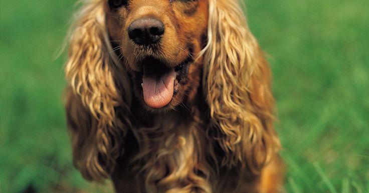 Como tratar uma infecção fúngica em um cão. A maioria das infecções fúngicas em cães são um resultado de leveduras que ficam em áreas úmidas do corpo do cachorro, como axilas, orelhas e dobras profundas na pele. A infecção mais comum, conhecida como malassezia, faz a pele do seu cão coçar e queimar. Procure por manchas na pele sem pelos, feridas com líquidos, vermelhidão e flocos secos. ...
