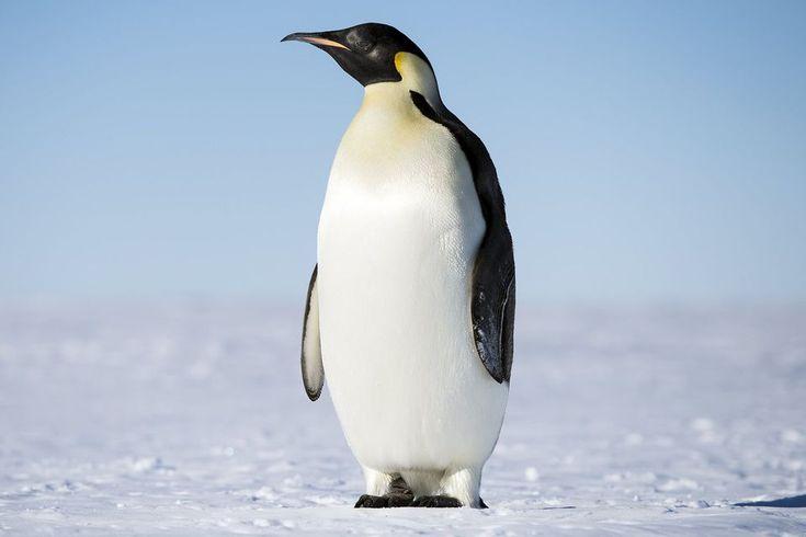 Aves sin vuelo los pingüinos son aves marinas especializadas bien equipadas para el frio con plumaje aislante y grasa. Son impresionantes nadadores y tienen aletas especializadas en lugar de alas de plumas . A pesar de su reputación fría, sin embargo, varias especies crían realmente en regiones tropicales. Las 18 especies de pingüinos varían mucho en tamaño y rango, aunque son físicamente similares. Todos los pingüinos pertenecen a la familia de los Spheniscidae. Foto © Christopher Michel