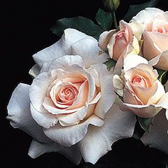 French Lace rose from David Austin Roses--beautiful rose with wonderful fragrance.