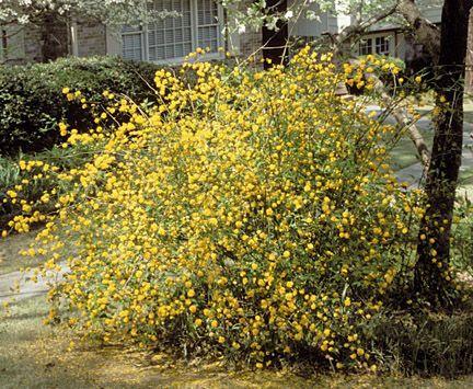 Złotlin japoński 'PICTA' Kerria japonica