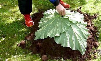 Il dépose 4 feuilles de rhubarbe sur une butte de terre! Je n'avais encore jamais vu ce qu'il s'apprête à faire!