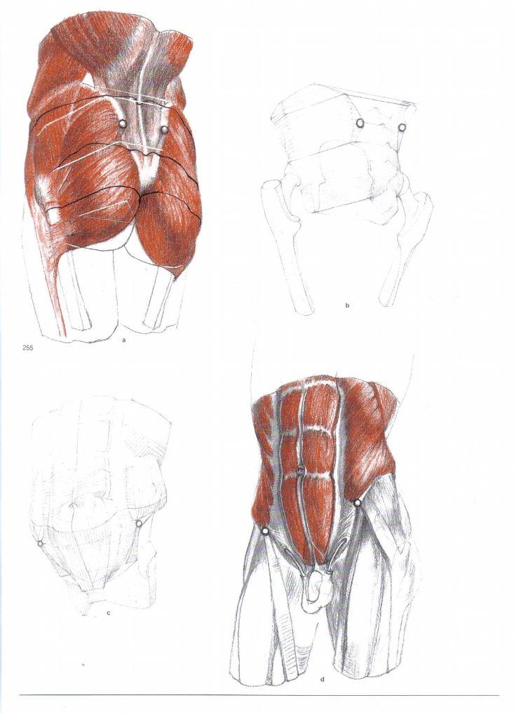 30 besten Muscles Bilder auf Pinterest | Menschliche anatomie ...