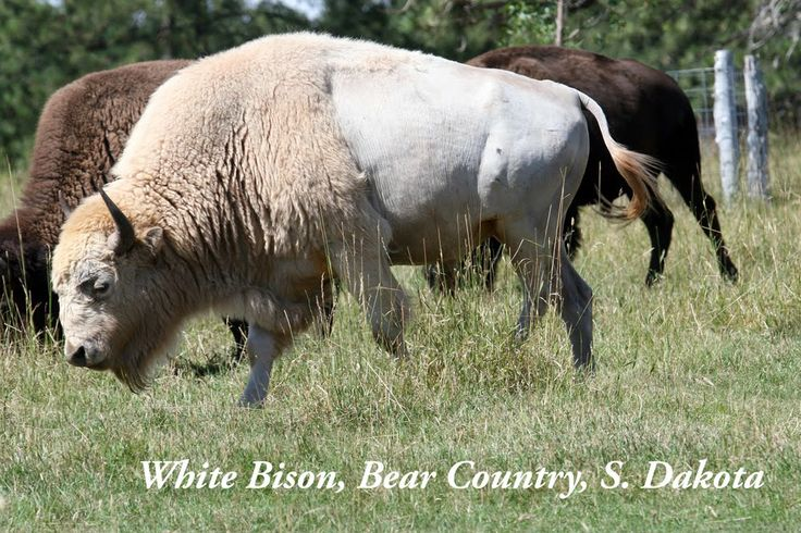 I have seen a white bison